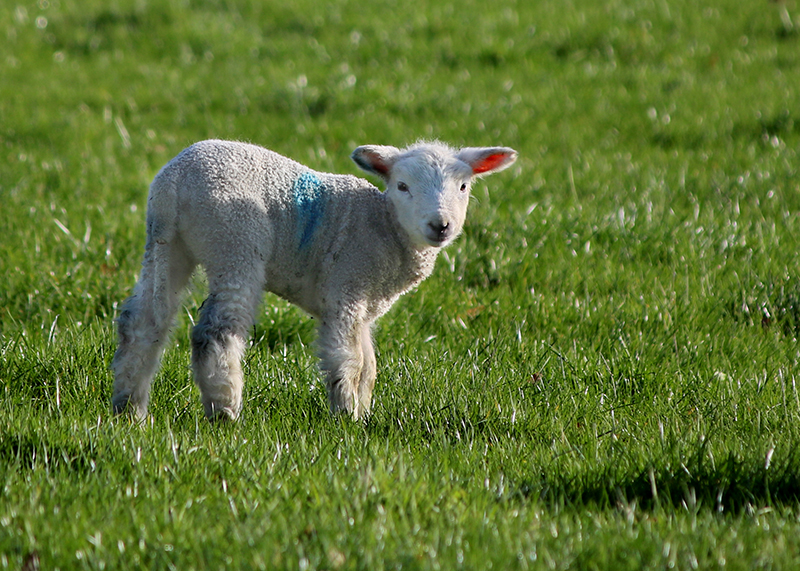 close up of a sunlit lamb standing in a green field