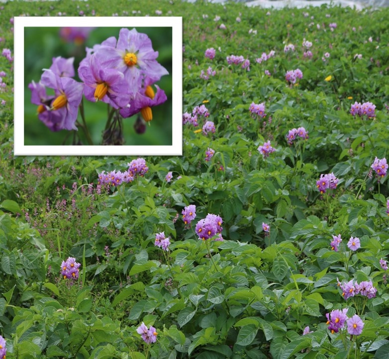 A field of potato plants in bloom at An Tairseach and a close up of a potato flower inset in the image