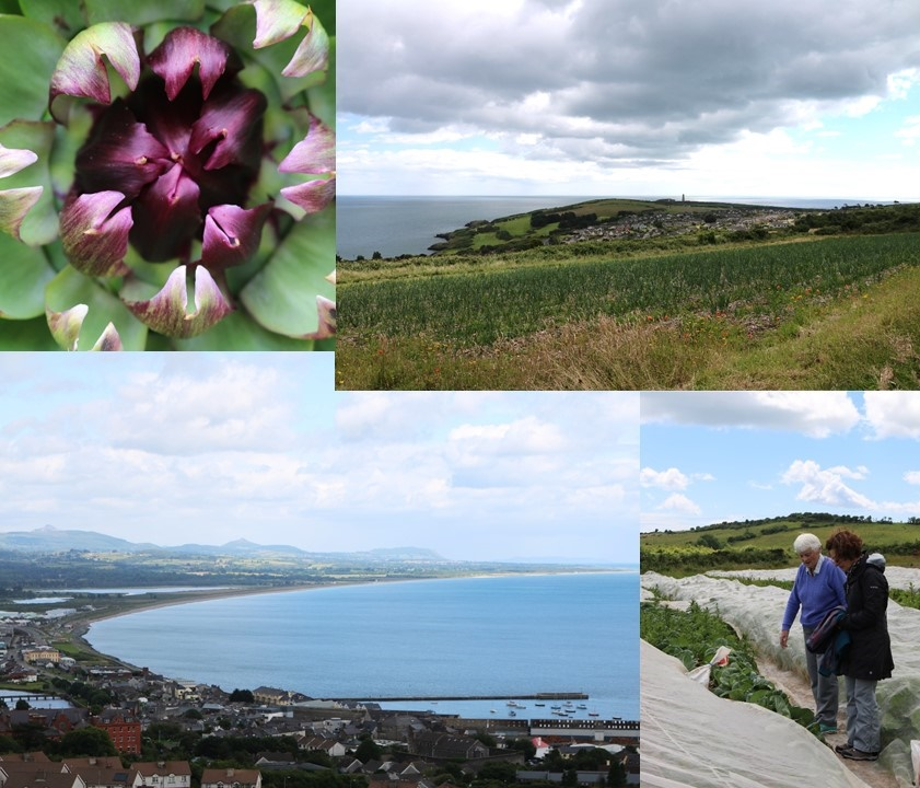 Composite image:Clockwise from top left: Close up of an Artichoke, A View from the farm towards the Old Lighthouse, Sr. Julie satanding in a vegetable bed explaining how the plants are protected with gauze, A View of Wicklow Town towards Broadlough