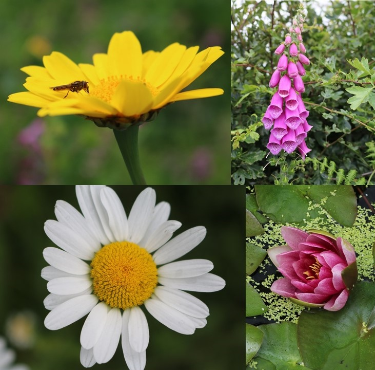 Composite image:Clockwise from top left: Insect on a yellow marguerite, a purple foxglove, close up of a water lily, close up of a ox eye daisy